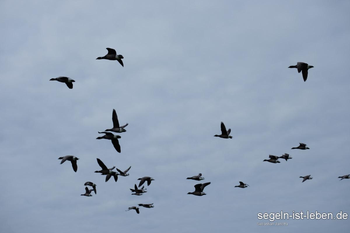Vögel Gänse am Himmel